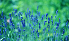 Hintergrund von Lavandula officinalis Stockfotografie