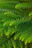 Hintergrund von Niederlassungen eines lebhaften flaumigen Weihnachtsbaums stockfoto
