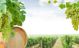 Hintergrund von Reben mit Trauben, Eichenfaß und Tafeltrauben Stockfotografie