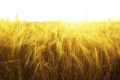 Hintergrund von reifenden Ohren des gelben Weizenfeldes auf Sonnenuntergangorange Stockbild