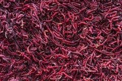 Hintergrund von roten Moskitolarven lizenzfreies stockfoto
