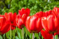 Hintergrund von roten Tulpen Lizenzfreies Stockbild