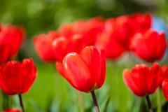 Hintergrund von roten Tulpen Lizenzfreies Stockfoto