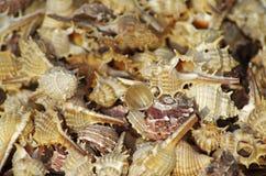 Hintergrund von Seashells Lizenzfreies Stockfoto