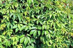 Hintergrund von Sprösslingen und von Blättern die wilden Trauben Stockfoto