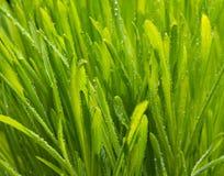 Hintergrund von Tautropfen auf hellgrünem Gras Lizenzfreies Stockfoto