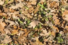 Hintergrund von trockenen braunen Blättern der Eiche, Herbstlandschaft lizenzfreies stockbild