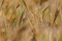 Hintergrund von trockenen Feldährchen der wilden Natur Lizenzfreie Stockfotografie