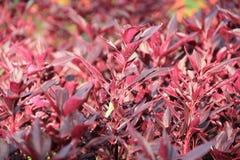 Hintergrund von violett-roten Blättern Lizenzfreies Stockfoto