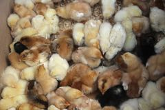 Hintergrund von Vogelbabys Lizenzfreie Stockbilder
