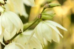 Hintergrund von weißen Hesperoyucca-whipplei Blumen Yucca Gigantea, Chaparralyucca, Itabo, Quijote-Yucca, Yucca Filamentosa lizenzfreies stockbild