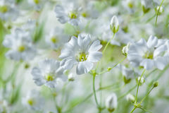 Hintergrund von weißen schönen weichen Feldblumen Stockfotografie