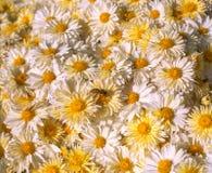 Hintergrund von weißen und gelben Gänseblümchen mit Hummel Stockbild
