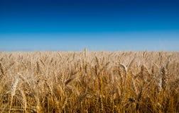 Hintergrund von Weizenähren und von blauem Himmel Stockbild