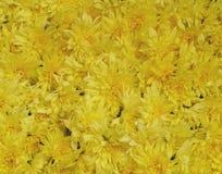 Hintergrund von wirklichen gelben Blumen Stockbilder