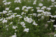 Hintergrund weißer Blume Blury Stockbilder