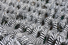 Hintergrund Zebra Lizenzfreie Stockfotos
