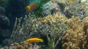 Hintergrundabschluß des Korallenriffs 4k herauf tropische Fischansicht stock footage