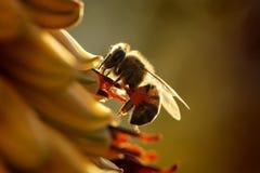 Hintergrundbeleuchtete Biene und Aloe Stockfotos