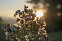 Hintergrundbeleuchtete Distelblume im Herbst stockfotos