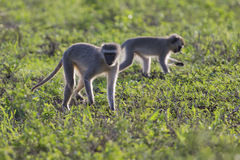 Hintergrundbeleuchtete am frühen Morgen Sonne des Vervet-Affe-Wegs Lizenzfreie Stockbilder