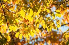 Hintergrundbeleuchtete gelbe Blätter an der goldenen Stunde im Herbst stockfoto