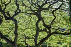 Hintergrundbeleuchtete grüne Blätter eines Affe-Hülsen-Baums Stockbild