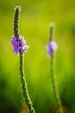 Hintergrundbeleuchtete grauhaarige Vervain-Wildflowers Stockbilder