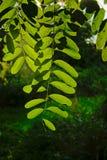 Hintergrundbeleuchtete Heimat USA-Blätter - Robinia Lizenzfreie Stockfotos