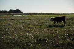 Hintergrundbeleuchtete Kuh in einem Sumpfgebiet lizenzfreie stockfotos