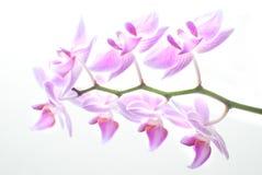 Hintergrundbeleuchtete Orchidee Stockfotos