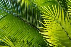Hintergrundbeleuchtete Palmeblätter Lizenzfreies Stockfoto