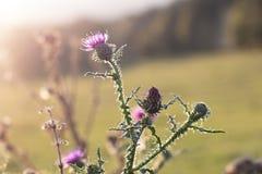Hintergrundbeleuchtete purpurrote Wolldistelblume in der Wiese lizenzfreies stockfoto