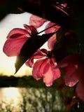Hintergrundbeleuchtete rosa Blumen bei Sonnenuntergang Stockfoto