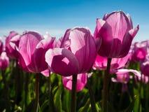 Hintergrundbeleuchtete rosa Tulpen auf dem Gebiet Lizenzfreie Stockbilder