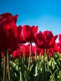 Hintergrundbeleuchtete rote Tulpen Lizenzfreie Stockfotos