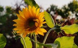 Hintergrundbeleuchtete Sonnenblume im Volksschulegarten stockfotografie
