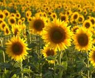 Hintergrundbeleuchtete Sonnenblumen Lizenzfreie Stockfotos