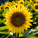 Hintergrundbeleuchtete Sonnenblumen auf einem Gebiet Lizenzfreie Stockfotos