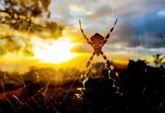 Hintergrundbeleuchtete Spinne im Netz glüht in untergehende Sonne stockfotos