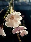 Hintergrundbeleuchtete weiße Sakura Cherry Blossom Hanging Stockfotos