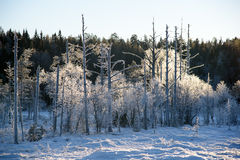 Hintergrundbeleuchteter Frost auf alten Bäumen Lizenzfreie Stockbilder
