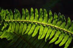 Hintergrundbeleuchteter grüner Farn mit den Sporen Stockfotografie