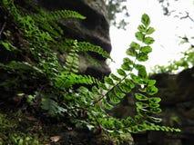 Hintergrundbeleuchteter Maidenhair-Spleenwort-Farn lizenzfreies stockfoto