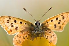Hintergrundbeleuchteter rußiger kupferner Schmetterling Stockbilder