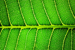 Hintergrundbeleuchtetes grünes Blatt der Nahaufnahme Lizenzfreie Stockbilder