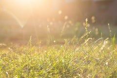 Hintergrundbeleuchtetes Gras bei Sonnenuntergang stockbild
