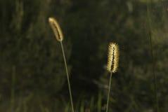 Hintergrundbeleuchtetes Gras in defocused Hintergrund Stockbilder