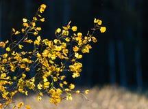 Hintergrundbeleuchtetes Herbstlaub im goldenen Licht in Espoo, Finnland Stockbild