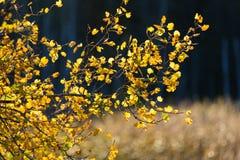 Hintergrundbeleuchtetes Herbstlaub im goldenen Licht in Espoo, Finnland Lizenzfreies Stockbild